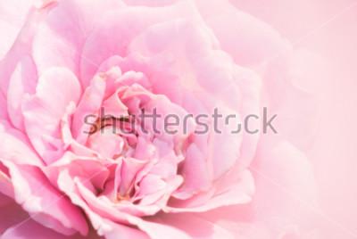 Adesivo A flor da rosa do rosa no fundo cor-de-rosa com profundidade de campo rasa e focaliza o centro da flor cor-de-rosa. Rosa cor-de-rosa bonita no jardim. macro rosa rosa.