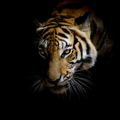 Adesivo acima da cara do tigre isolado no fundo preto