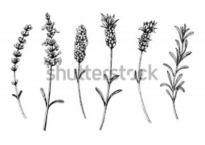 Adesivo As flores de lavanda de selvagens e cultivares. Conjunto floral vintage. Esboço desenhado de mão de tinta. Ilustração vetorial