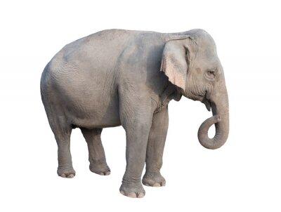 Adesivo asia elefante