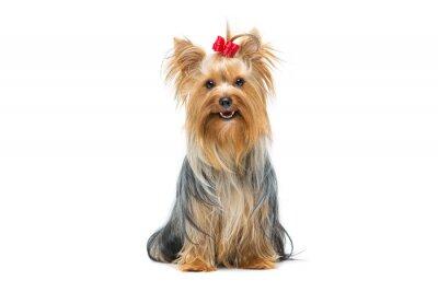 Adesivo Assento, yorkshire, terrier