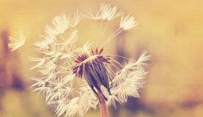 Adesivo Autumn dandelion close up