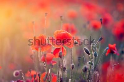 Adesivo Belo campo de papoilas vermelhas na luz do sol.