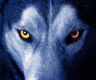Adesivo belos olhos de um lobo selvagem.