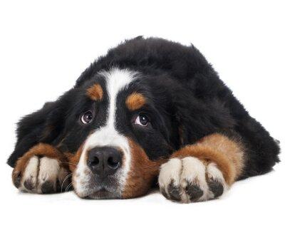 Adesivo Berner Sennenhund sobre um fundo branco no estúdio, cão triste