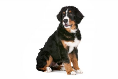 Adesivo Bernese Mountain Dog cachorro