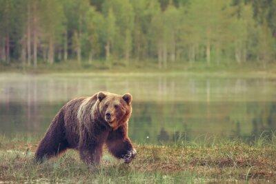Adesivo Big male bear walking in the bog at sunset
