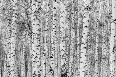 Adesivo Birch forest winter landscape, black and white photo