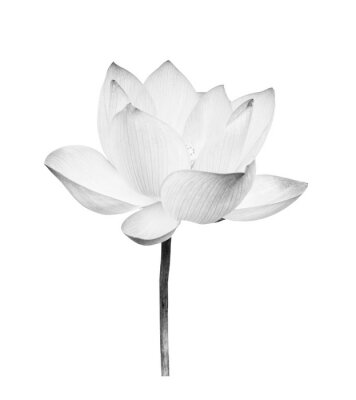 Adesivo Black and white Lotus flower isolated on white background. File contains with clipping path so easy to work.
