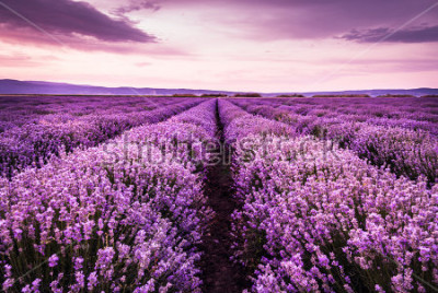 Adesivo Blooming lavender field under the purple colors of the summer sunset