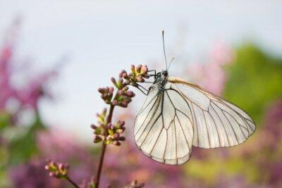 Adesivo Bonito, borboleta, sentando, flores, lilás