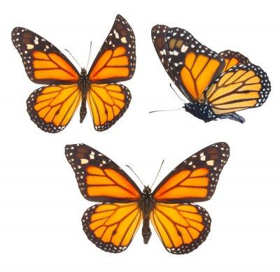 Adesivo Borboleta monarca