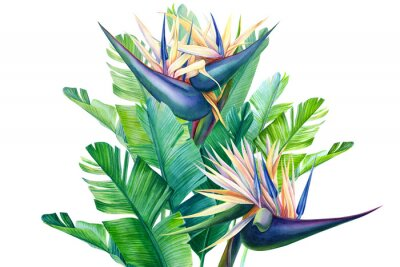 Adesivo bouquet of tropical strelitzia flowers on a white background, watercolor illustration