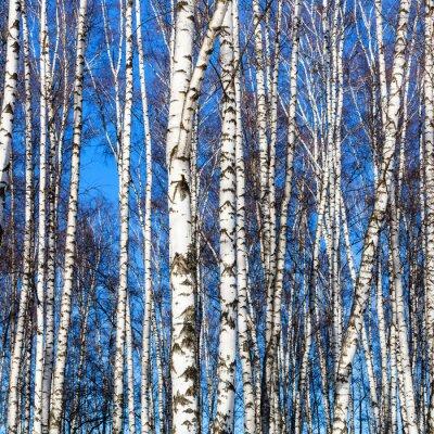 Adesivo Branca, vidoeiro, troncos, azul, céu