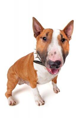 Adesivo Bull Terrier