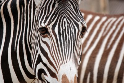 Adesivo Burchell's zebra is a southern subspecies of the plains zebra. It is named after the British explorer William John Burchell. Common names include bontequagga, Damara zebra and Zululand zebra