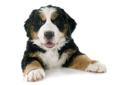 Adesivo cachorro cão bernese moutain