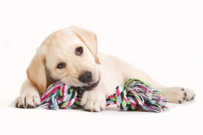 Adesivo Cachorro labrador mordendo em um brinquedo colorido