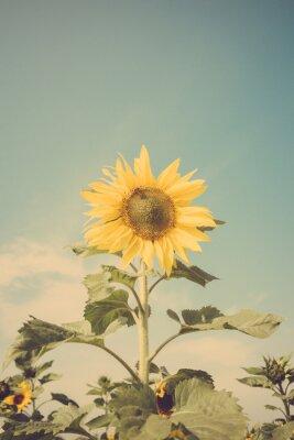Adesivo campo de flor de girassol céu azul do vintage retro