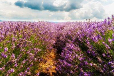 Adesivo campo de lavanda, Plateau de Valensole, Provence, França