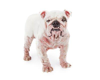 Adesivo Cão com sarna demodécica