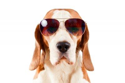 Adesivo cão de sentinela nos óculos de sol no branco