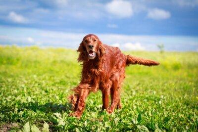 Adesivo Cão do setter irlandês vermelho