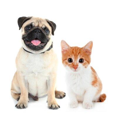 Adesivo Cão pug engraçado e pouco gatinho vermelho isolado no branco