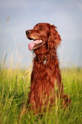Adesivo Cão setter irlandês vermelho
