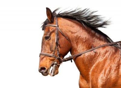 Adesivo Cavalo de louro no perfil em um fundo branco. Close-up.
