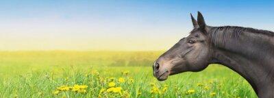 Adesivo Cavalo preto no fundo de verão com dente de leão, bandeira
