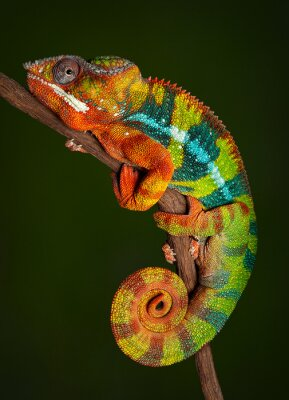 Adesivo Chameleon Panther em repouso