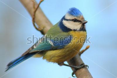 Adesivo Chapim-azul na frente do ramo o fundo bonito