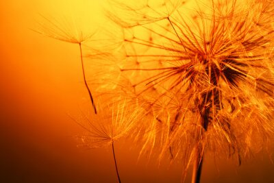 Adesivo Close up da bela dandelion