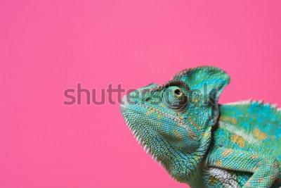 Adesivo close-up vista do camaleão exótico colorido bonito isolado na rosa