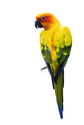 Adesivo Colorful Sun Conure, o o belo pássaro papagaio amarelo isolado