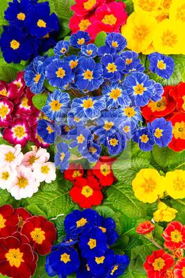 Adesivo coloridas flores frescas da primavera primula
