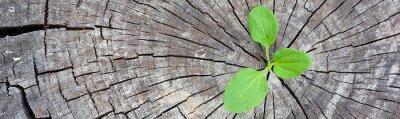 Adesivo Conceito de ecologia. Rising sprout plantain de madeira velha e simboliza a luta por uma nova vida, bandeira de design de fronteira panorâmica.