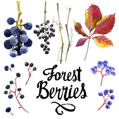 Adesivo Conjunto da aguarela de uvas selvagens. Coleção do jardim do herbarium.