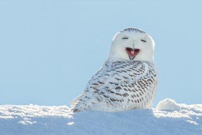 Adesivo Coruja nevado - Bocejar / sorriso na neve