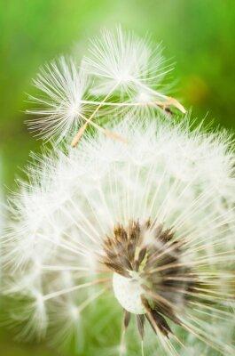 Adesivo Dente-de-leão, flor, dois, sementes, topo