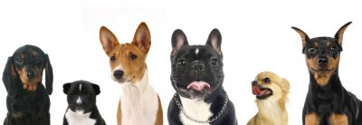 Adesivo Diferentes raças de cães de pequeno