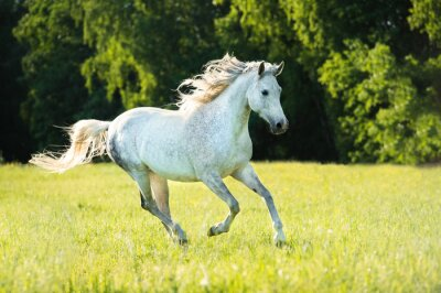 Adesivo Do cavalo branco galopam na luz do sol