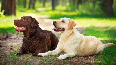 Adesivo dois cão labrador retriever