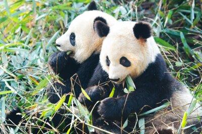 Adesivo Dois, panda, ursos, comer, bambu, sentando, lado a lado, china