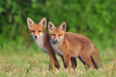 Adesivo Duas raposas vermelhas