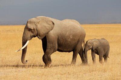 Adesivo Elefante africano com a vitela, o Parque Nacional Amboseli