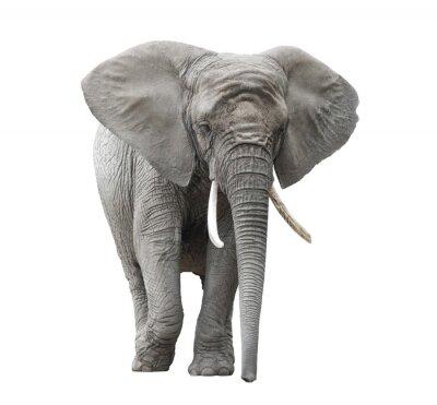Adesivo Elefante africano isolado no branco com trajeto de grampeamento