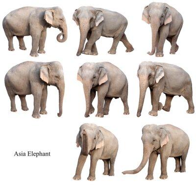 Adesivo elefante asiático fêmea isolado