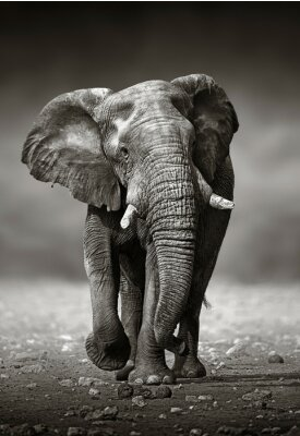 Adesivo Elephant Abordagem da frente